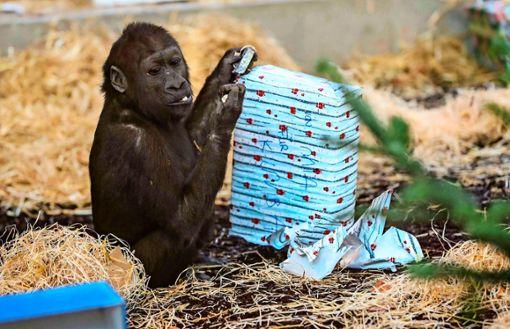 Bescherung im Menschenaffenhaus: Die gut eingewickelten Päckchen bieten den Tieren Beschäftigung und Belohnung zugleich. Foto: Wilhelma
