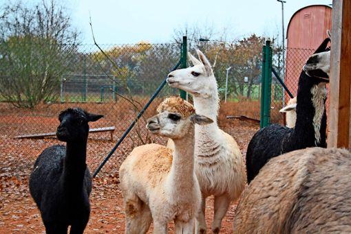 """Sie sind eine echte """"Boygroup"""": die Lamas und Alpakas auf der Farm von Claudia Ade. Foto: Sina Alonso Garcia"""